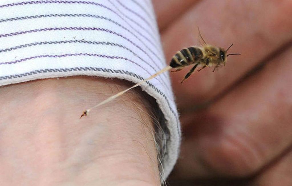 Quand l'abeille pique.. qui blesse l'abeille?