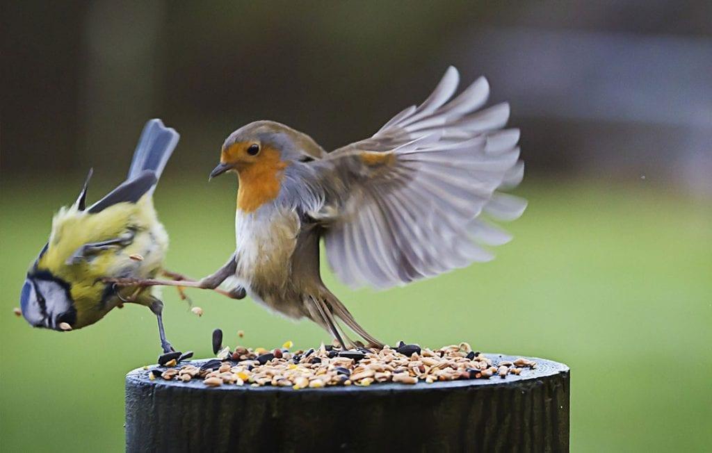 Combat d'oiseaux !