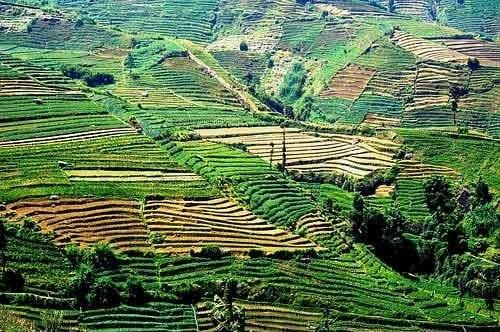 Collines vallonnées de plantations, Plateau de Dieng, Java, Indonésie