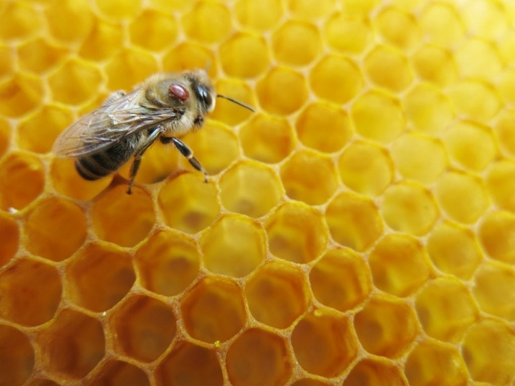 Small mites that cause big problems for bees