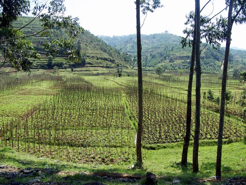 Rwanda - Landskape rice