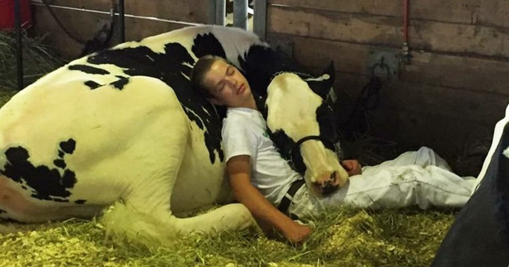 An exhausted boy and his cow melt the hearts of internet users